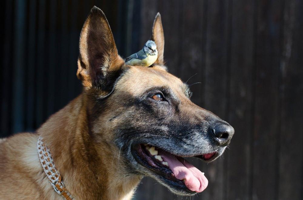 Kan hunde og fugle bo sammen?
