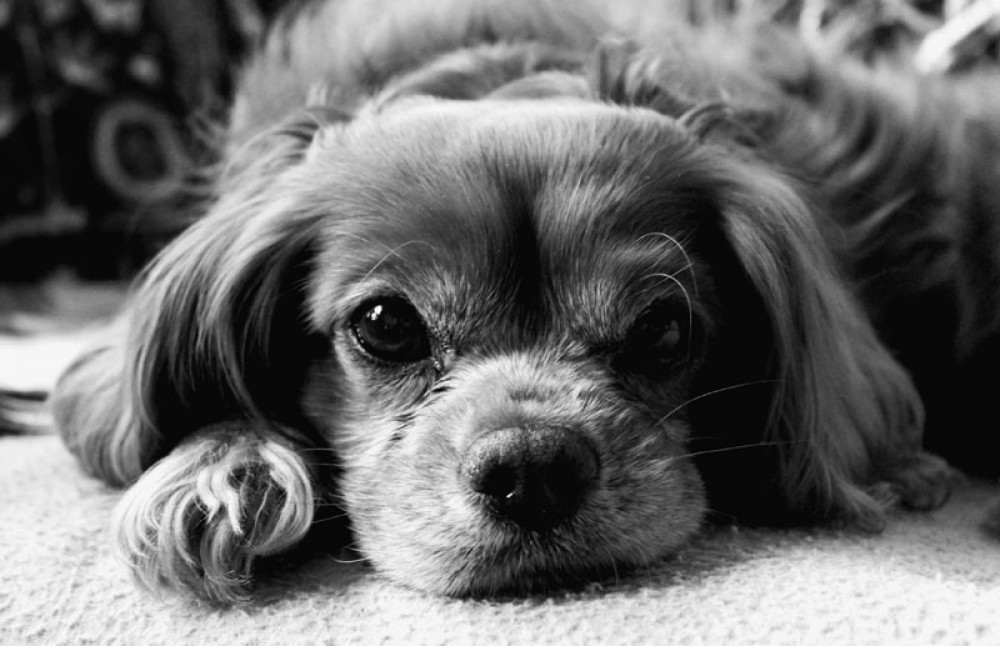 Lån penge til at købe en hundehvalp  Ansøg om lån til hund online