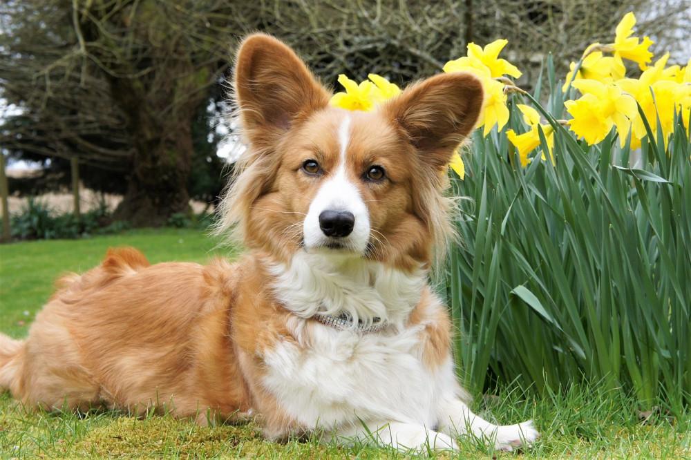 Welsh Corgi Cardigan  En rolig og klog lille hund