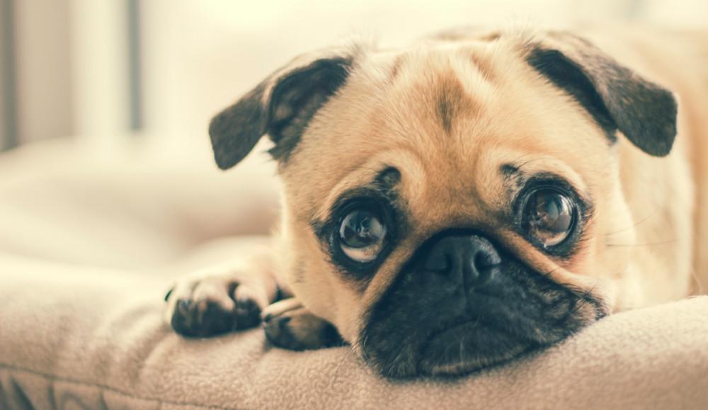 Øjenbetændelse hos hunde  Symptomer, Årsager og Behandling