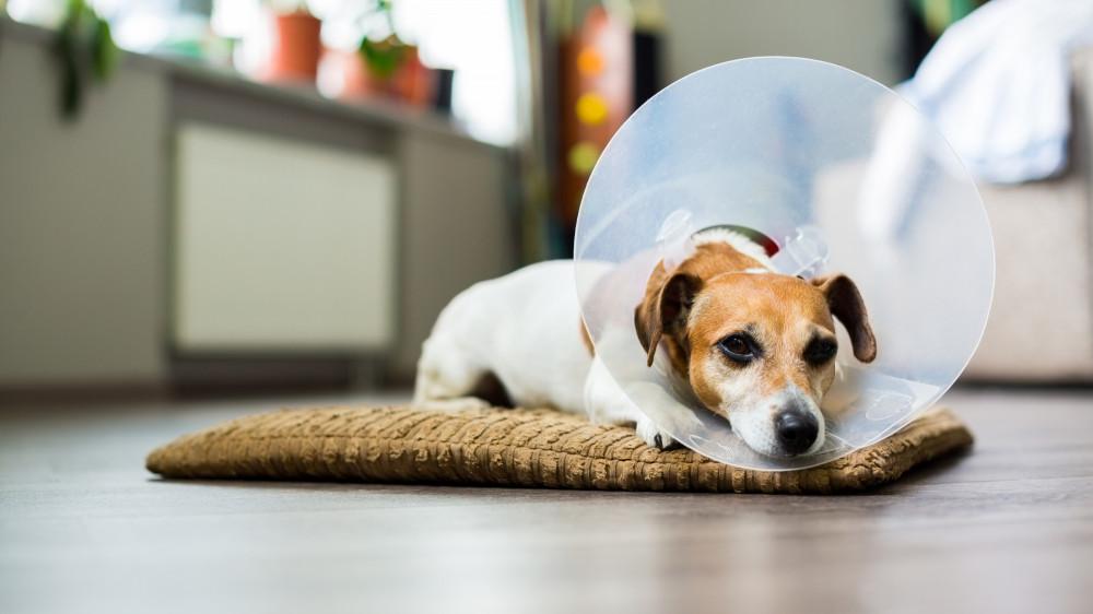 Derfor skal du overveje at få din hund kastreret  Stor guide